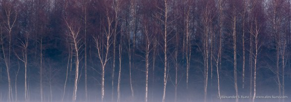 Birches at Dusk, Ibmer Moor, near Hackenbuch, Innviertel, Austria. January 2009.